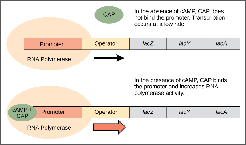 Difference Between Promoter and Operator