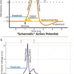 Difference Between Resting Potential and Action Potential