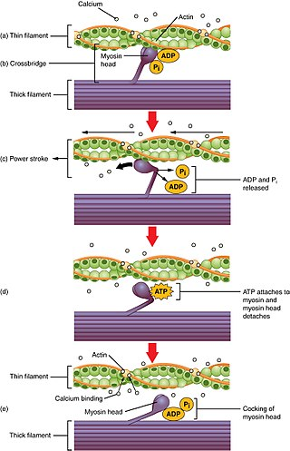 Difference Between Skeletal and Smooth Muscle Contraction