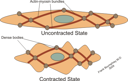 Key Difference Between Skeletal and Smooth Muscle Contraction