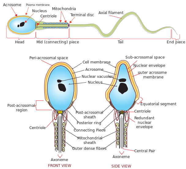Difference Between Spermiogenesis and Spermiation