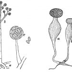Difference Between Sporangia and Gametangia