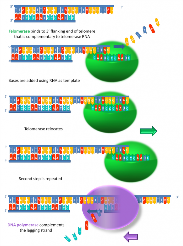 Key Difference Between Telomeres and Telomerase