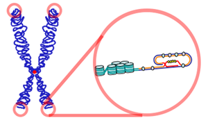 Key Difference Between Centromere and Telomere