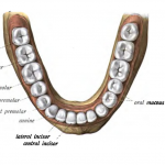 Difference Between First and Second Premolar