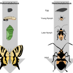 Difference Between Holometabolous and Hemimetabolous Metamorphosis in Insects