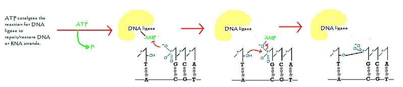 Difference Between Ligase and Lyase