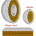 Key Difference Between Liposome and Micelle