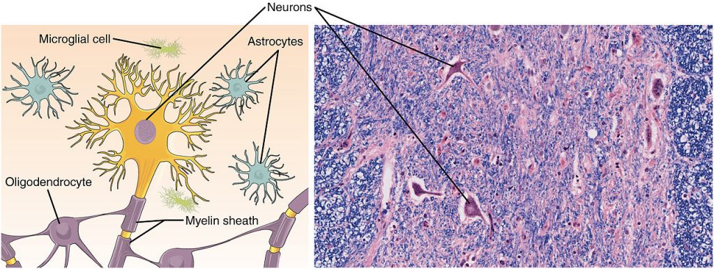 Difference Between Nervous Tissue and Nervous System