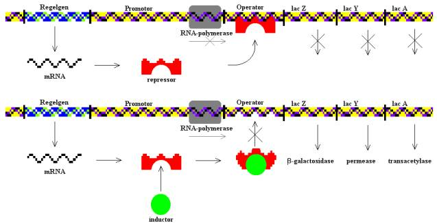 Difference Between Operon and Regulon