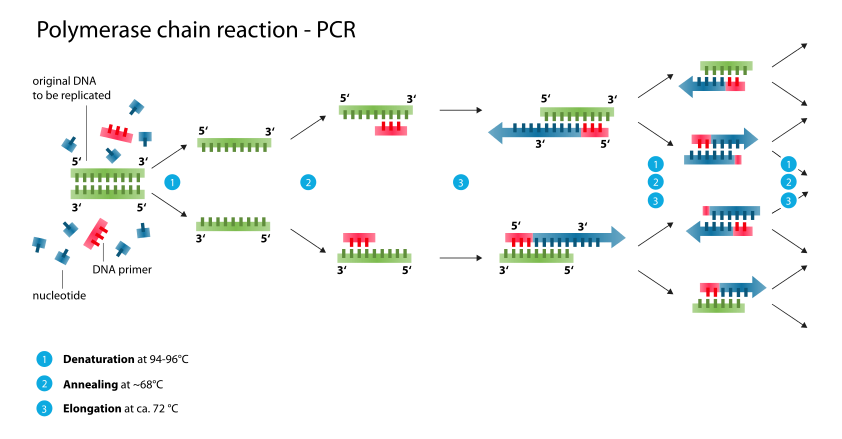 Difference Between PCR and DNA Replication