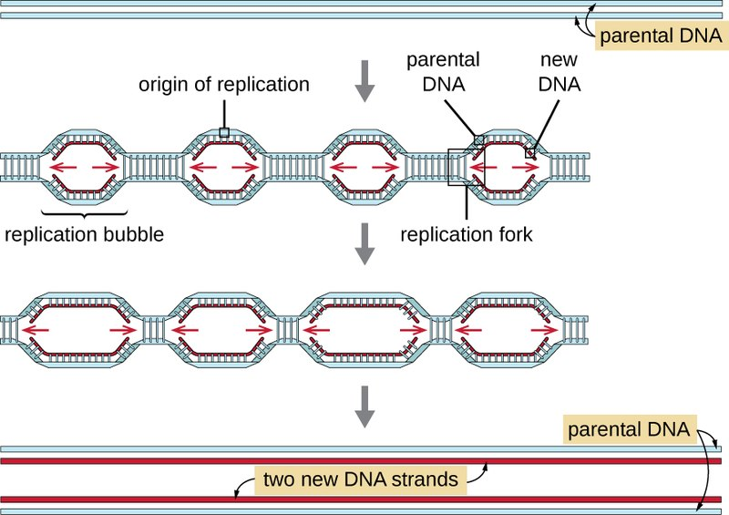 Difference Between Replication Bubble and Replication Fork