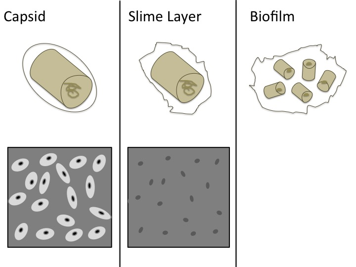 Difference Between Slime Layer and Capsule