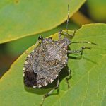 Difference Between Stink Bug and Kissing Bug