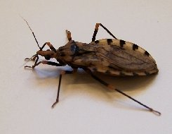 Key Difference Between Stink Bug and Kissing Bug