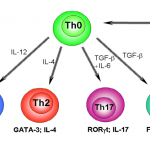 Difference Between TH1 and TH2 Helper Cells