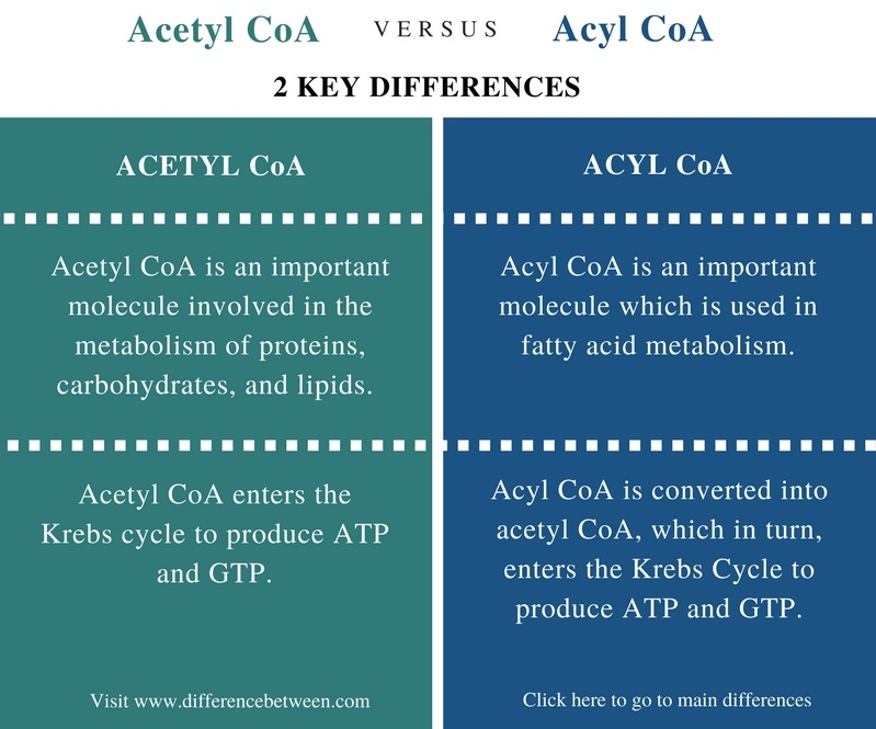 Difference Between Acetyl CoA and Acyl CoA- Comparison Summary