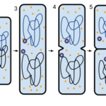 Difference Between Binary Fission and Multiple Fission