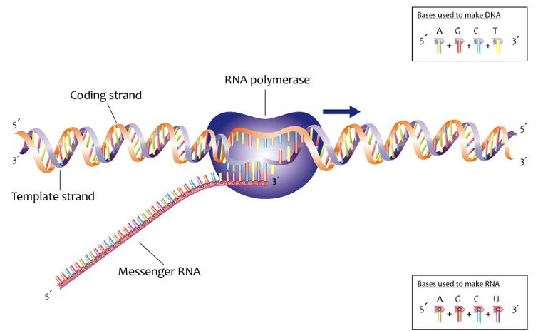 Key Difference Between DNA and RNA Synthesis