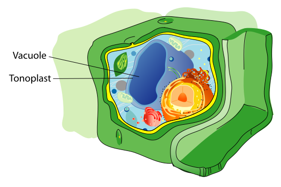 Key Difference Between Lysosome and Vacuole