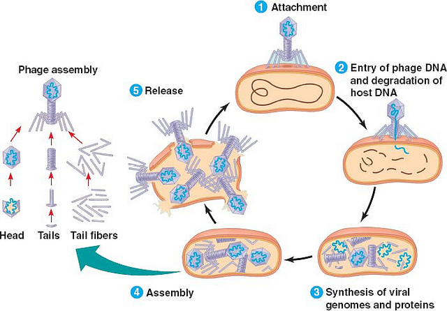 Difference Between Lytic and Lysogenic Cycle of Bacteriophage
