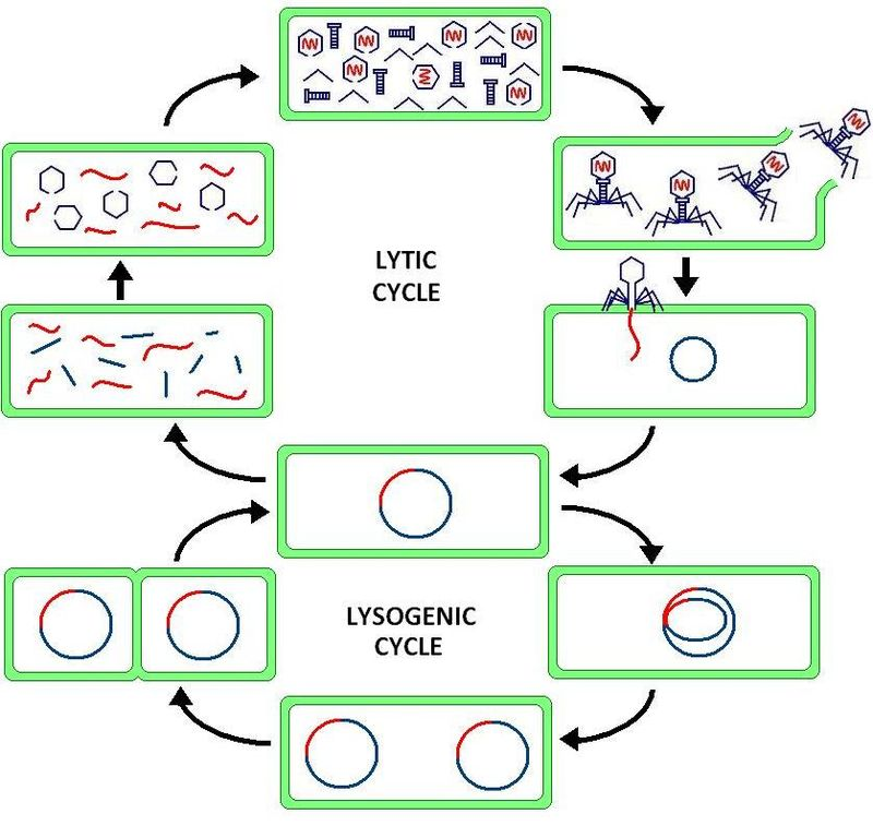 Key Difference Between Lytic and Lysogenic Cycle of Bacteriophage