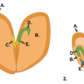 Key Difference Between Monocot and Dicot Embryo