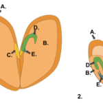 Difference Between Monocot and Dicot Embryo