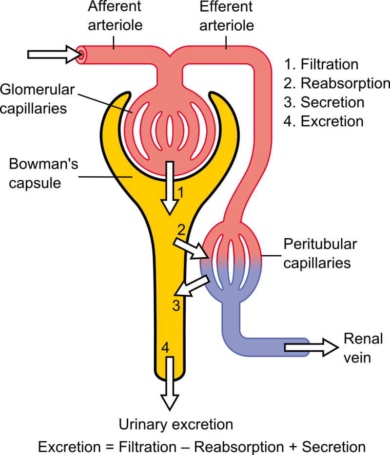 Difference Between Nephron and Neuron