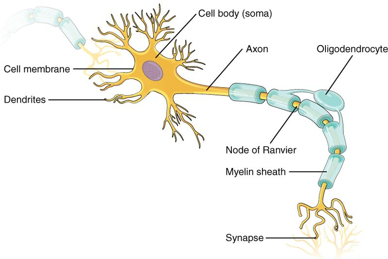 Key Difference Between Nephron and Neuron