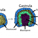 Difference Between Neurulation and Gastrulation