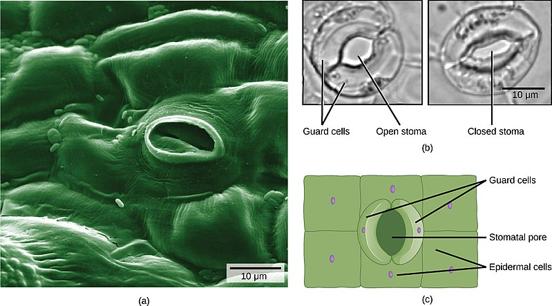 Key Difference - Stomata of Monocot vs Dicot Plant