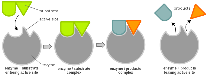 Difference Between Substrate and Product