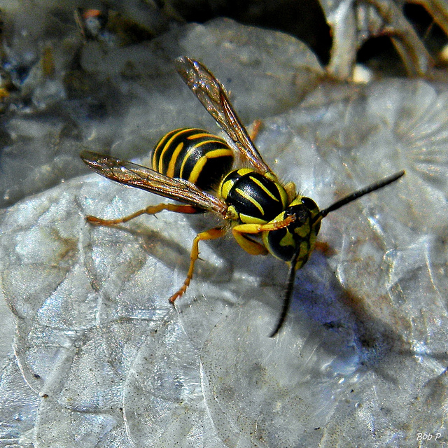 Key Difference - Honey Bees vs Yellow Jackets