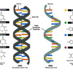 Difference Between Deoxyribonucleic acid and Ribonucleic Acid