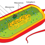 Difference Between Genetic Material of Prokaryotes and Eukaryotes