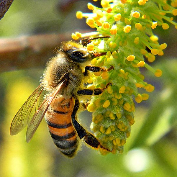 Difference Between Honey Bees and Yellow Jackets