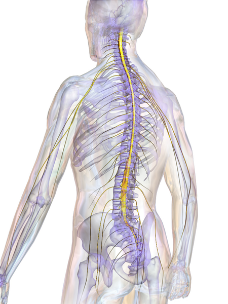 Difference Between Spinal Cord and Vertebral Column
