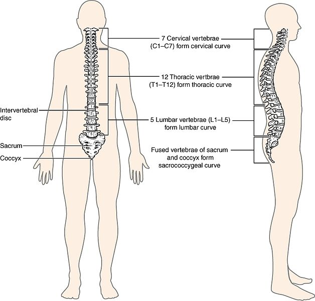 Key Difference - Spinal Cord vs Vertebral Column