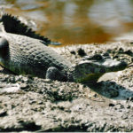 Difference Between Caiman and Alligator