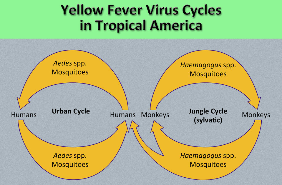 Difference Between Yellow Fever and Jaundice