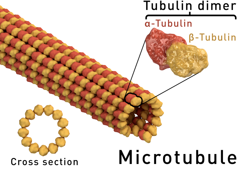 Key Difference Between Alpha and Beta Tubulin