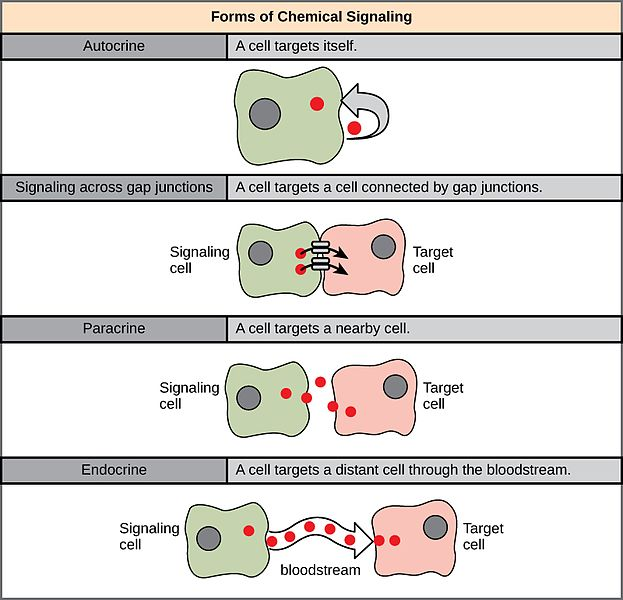 Difference Between Autocrine and Paracrine