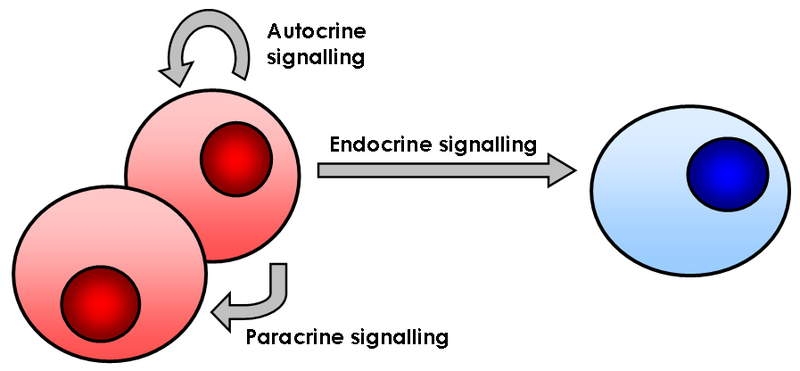 Key Difference Between Autocrine and Paracrine