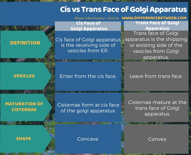 Difference Between Cis and Trans Face of Golgi Apparatus in Tabular Form