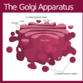 Difference Between Cis and Trans Face of Golgi Apparatus