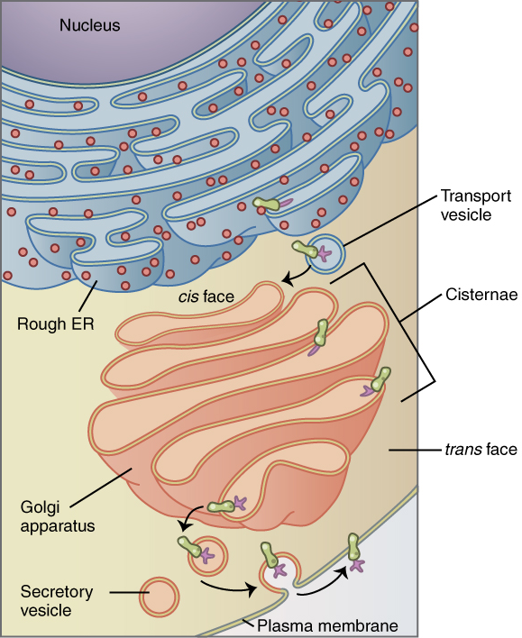 Key Difference Between Cis and Trans Face of Golgi Apparatus