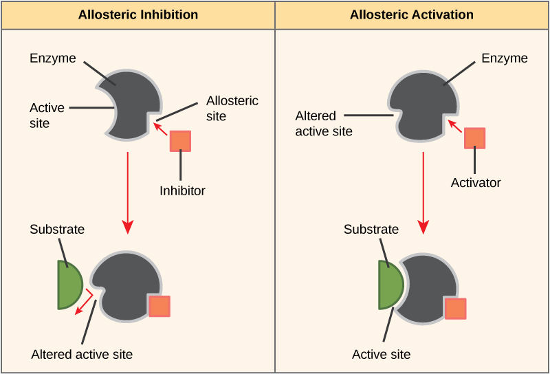 Difference Between Enzyme Activator and Enzyme Inhibitor