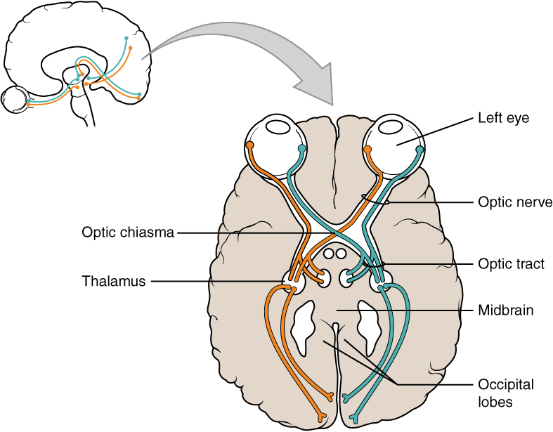 Difference Between Optic Nerve and Optic Tract