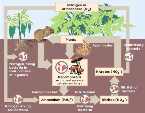 Figure 01: The Nitrogen Cycle shows the Inorganic Nitrogen in the Soil
